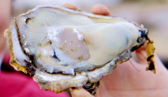 又到海蛎子肥美时 灵山湾海水养殖场海蛎子大量上市