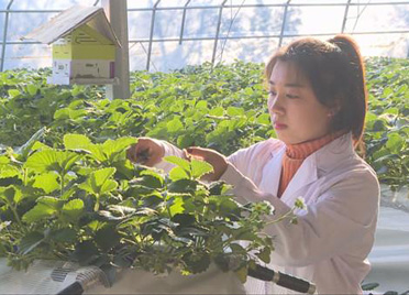 """青州:白领跨界新农人""""高架""""草莓让采摘更惬意"""