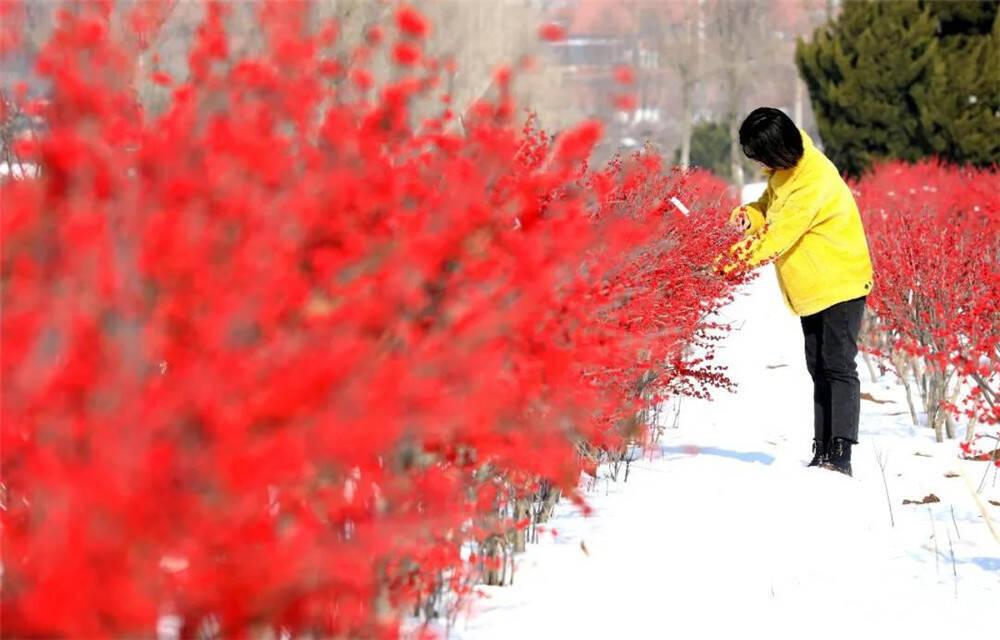 """威海桥头镇大片""""新年红""""成冬日别样风景线"""