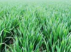 淄博全力应对灾害性天气 确保小麦安全越冬