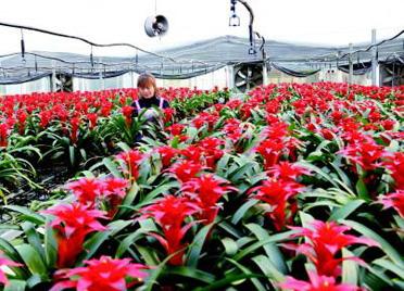 潍坊青州精心培育花卉 备战节日市场