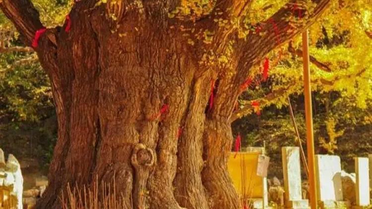 济宁全面推进古树名木保护再发力