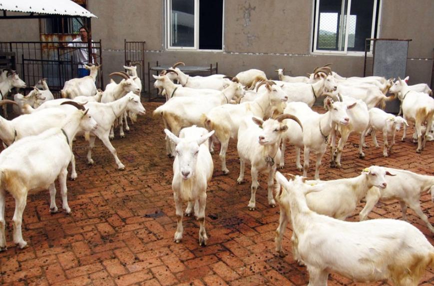 青岛已培育出400多只克隆奶山羊 每只价值千万美元