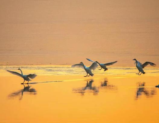 组图:济南黄河沉沙池结冰,大天鹅们再寻乐园