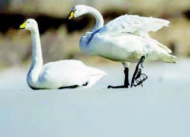 白天鹅脚被夹子夹住 生性敏感无法靠近 潍坊爱鸟人士盼市民提供有效施救办法