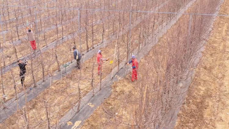 34秒|一年之計在于春,威海榮成果樹修剪忙不停