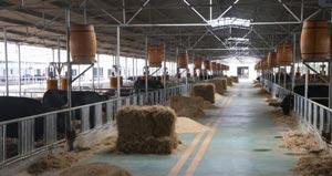淄博高青兑现209万元补贴做大做强黑牛产业
