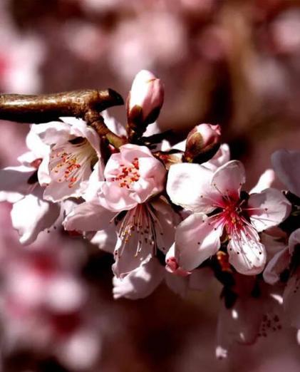 桃枝染红妆!威海里口山桃花朵朵开