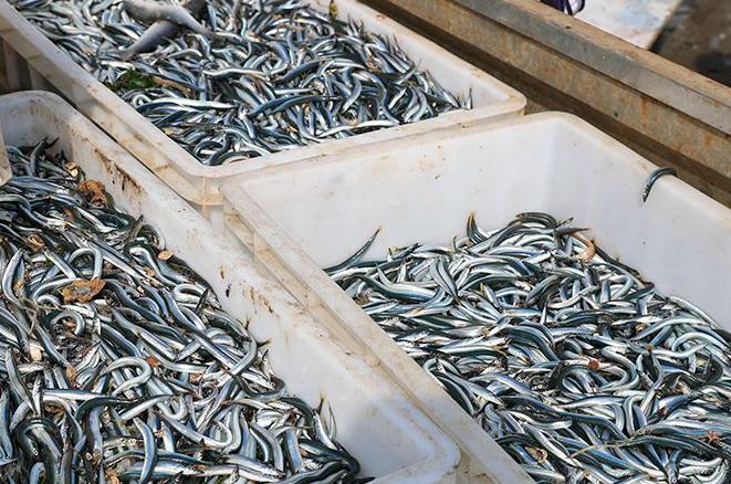 青岛近海迎来面条鱼汛 春日里不可多得的美味来了
