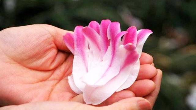 济南趵突泉玉兰树飘起花瓣雨