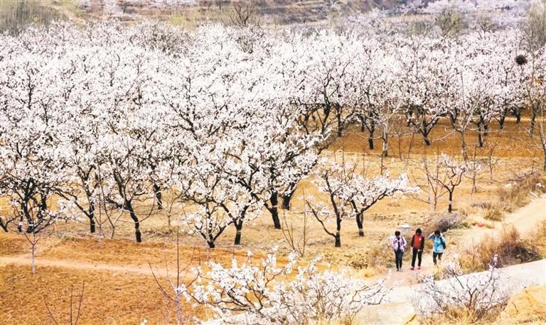 花开朱南又一年 第五届博山杏花节3月20日开幕