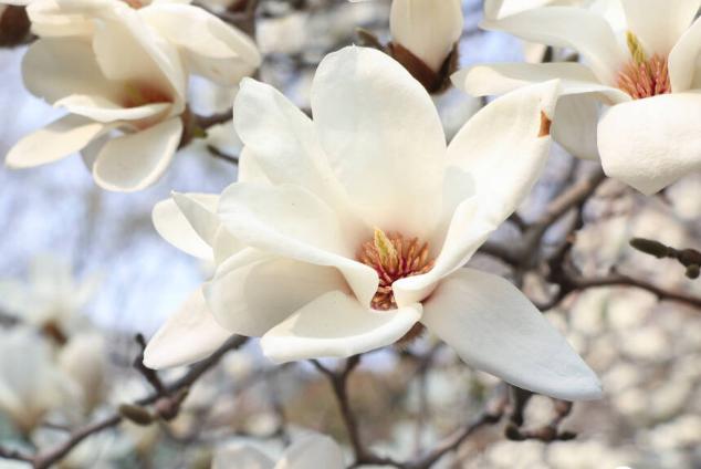 玉兰 食药赏皆宜的望春花
