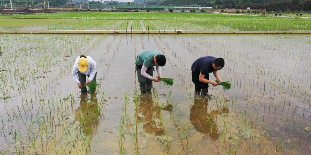 """天壤之接:嫦娥五号太空稻秧苗""""安家""""田间"""