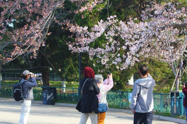 青岛首届樱花节来了!为期37天 免费参观