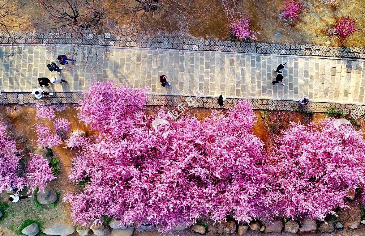 山花烂漫 姹紫嫣红——南山公园粉梅绽放