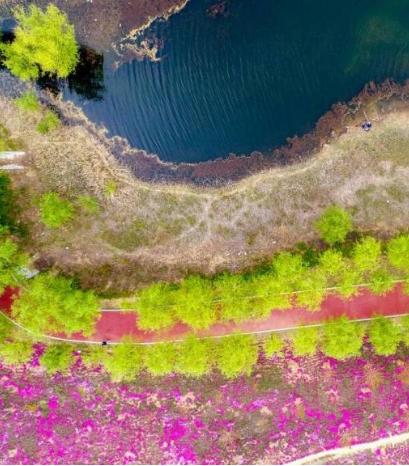 飛吧山東丨新泰新甫山300余畝芝櫻花海醉游人