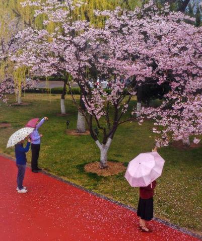 組圖|櫻花紅陌上 朝雨落繽紛