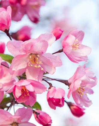 诗画山东丨济南正迎花开时 近千亩海棠花开映春光