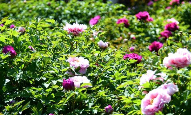 山科大校园牡丹绽放加入花季 雍容华贵气度不凡