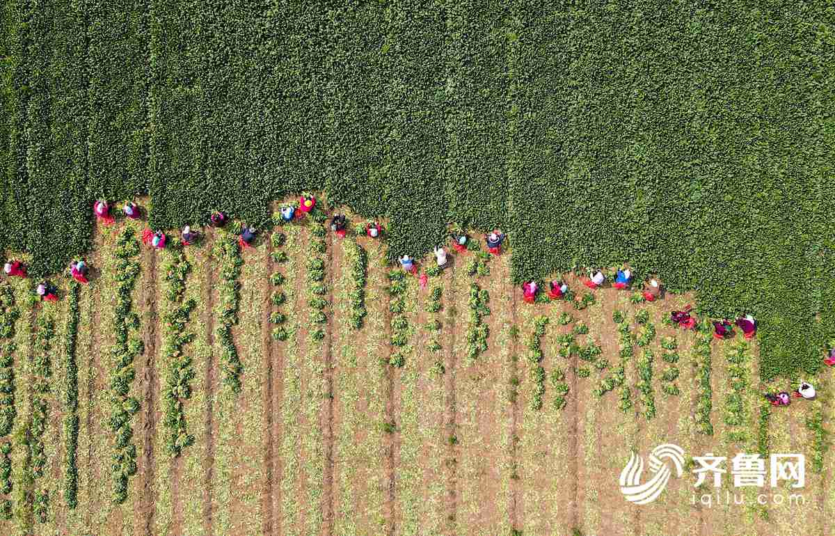 """山东滨州农民采收""""订单菠菜""""供应市场"""