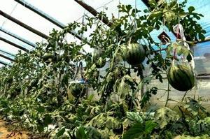 中国农科院果蔬新成果在淄博市落地见效