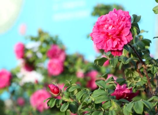 官宣啦!玫瑰增选为市花 济南进入双市花时代