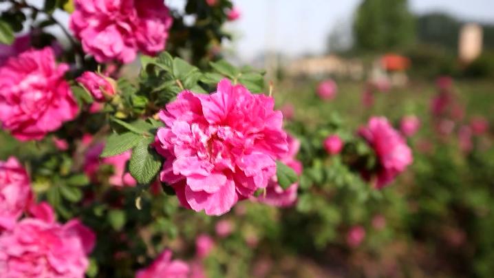 闪电专题丨玫瑰是这样增选为济南市花的
