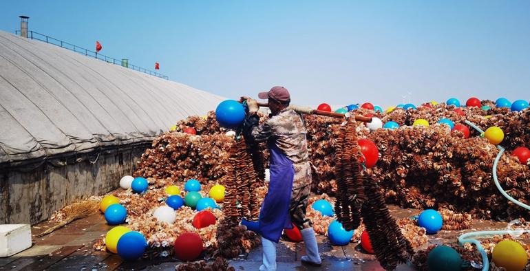 今年已卖出苗种10亿片!青岛前沿三倍体牡蛎实现主产区全覆盖