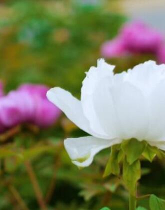 诗画山东|牡丹花开 姹紫嫣红都是景
