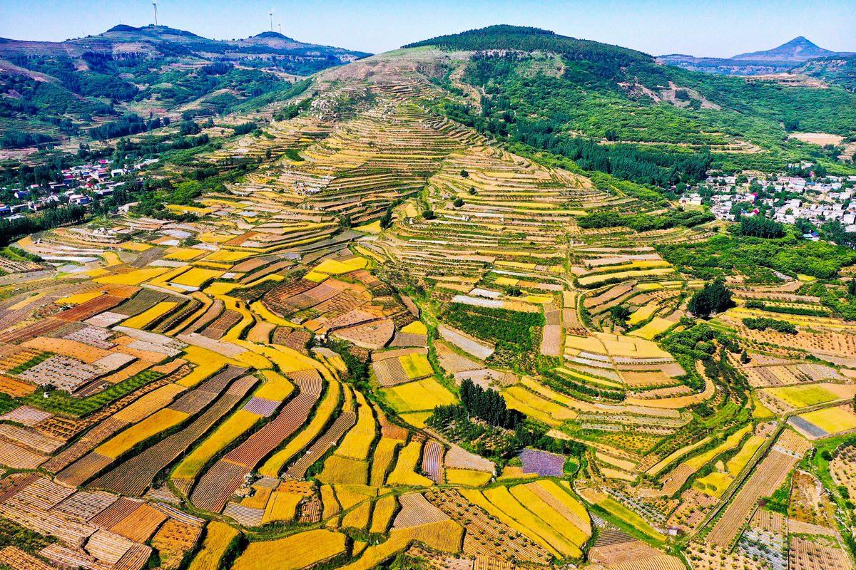 小麦进入成熟收获期 枣庄山亭梯田层层叠叠片片金黄
