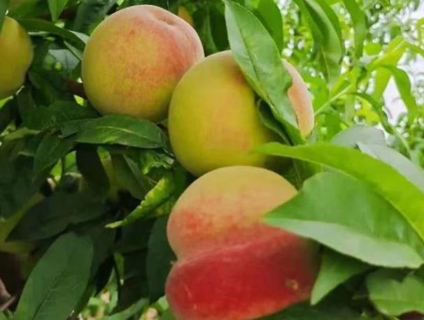 林果产业富乡亲 甜了民心