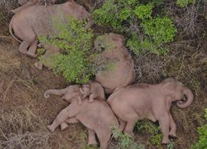 110多天行进1300公里 云南北移亚洲象群安全南返