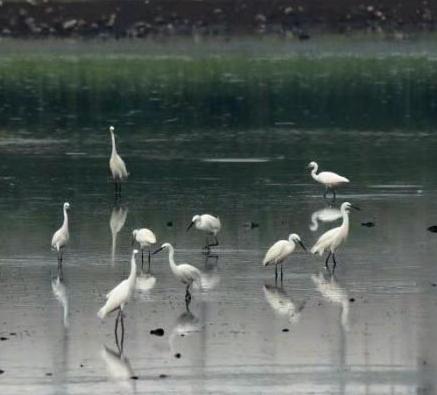 高新區濕地生態好 成群白鷺來棲息