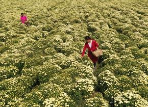 邹平特色农作物喜丰收 农民人均增收万余元