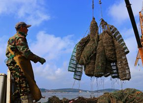 分笼疏养促肥增鲜,威海养殖户精养牡蛎正忙时