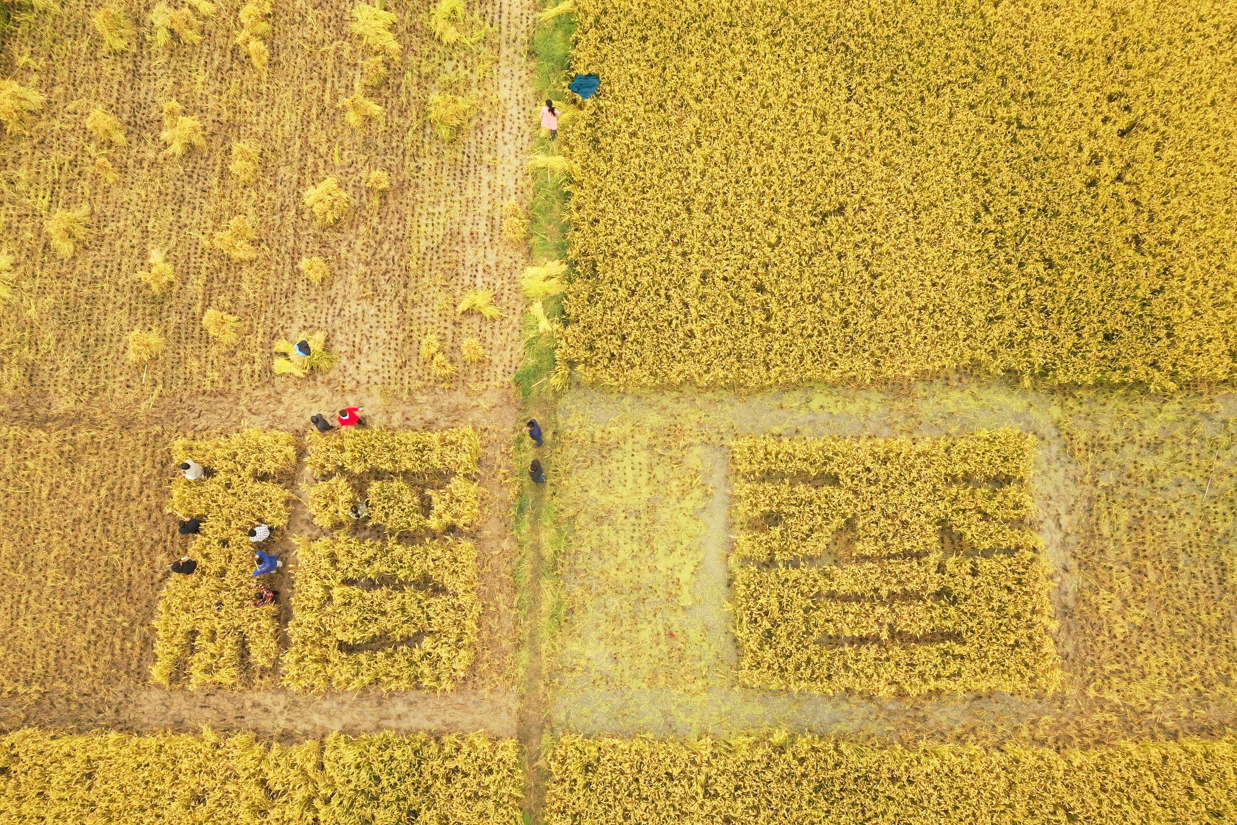 第四个中国农民丰收节到来 丰收的田野是大地最美画卷