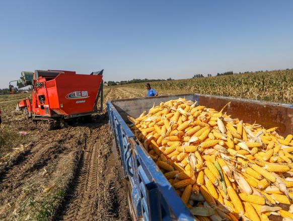 516台履带式收获机显身手,滨州市玉米收获完成逾40%