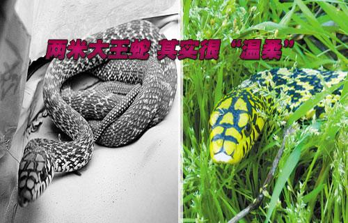 """两米大王蛇 其实很""""温柔"""""""