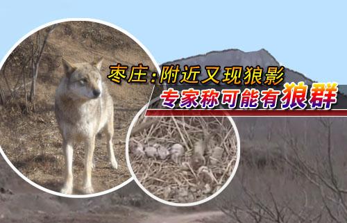 专家:可能已有了狼崽