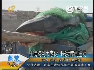 蓬莱:出海捞到大家伙 4米须鲸闯进网