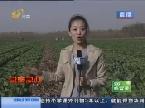 齐河:白菜滞销 菜农急需帮助