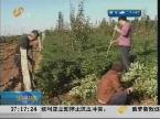 烟台:玫瑰苗单价高过苹果价 一亩收入5万多