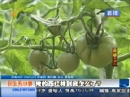 民生无小事:西红柿长成樱桃般大小?