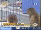 济南:巨型大老鼠 吓跑猫咪