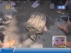 济南:南部山区湖怪现身 酷似乌龟