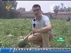 济阳:西瓜滞销 因成熟期正好赶雨季