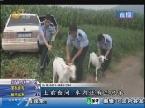 苍山:可恶!开着轿车来偷羊