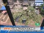 济南:大风吹倒40年大树 足足5层楼高