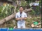 急事急办 济南:大树砸坏车 气晕车主