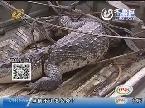 济南:稀罕!长清陈大哥捡了一条大鳄鱼